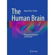 Human Brain: Prenatal Development and Structure